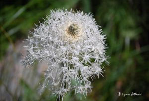 bear-grass-flower