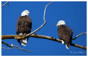 beautiful-bald-eagles-image-lynne-atkins