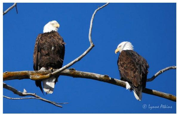 beautiful-bald-eagles-image-lynne-atkins