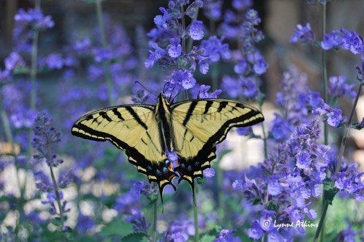 beautiful-yellow-butterfly-image-lynne-atkins.