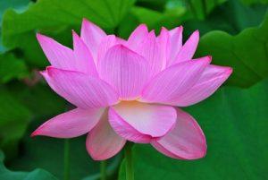lotus-flower-dna-activation